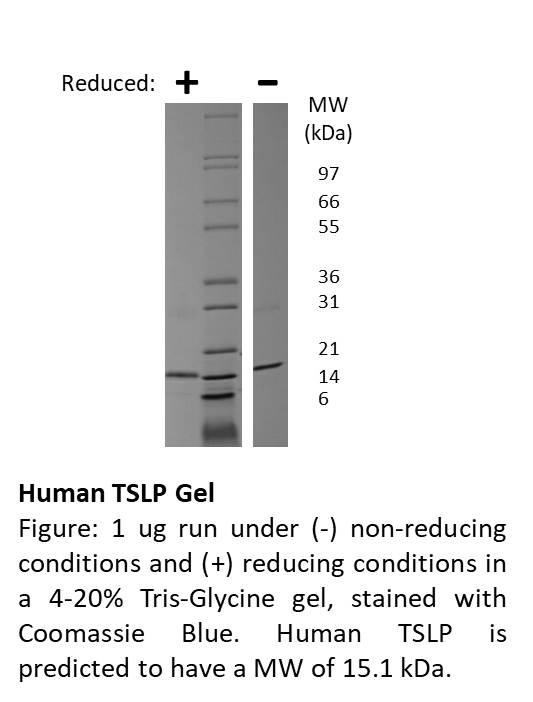 Human Thymic Stromal Lymphopoietin