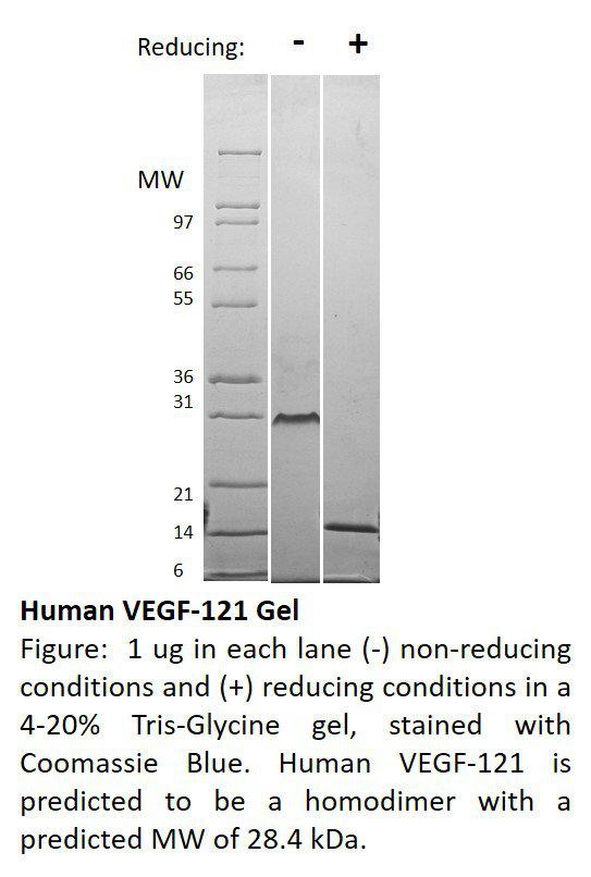 Human Vascular Endothelial Growth Factor-121