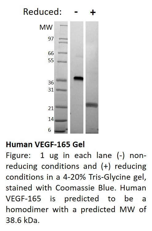 Mouse Vascular Endothelial Growth Factor-165