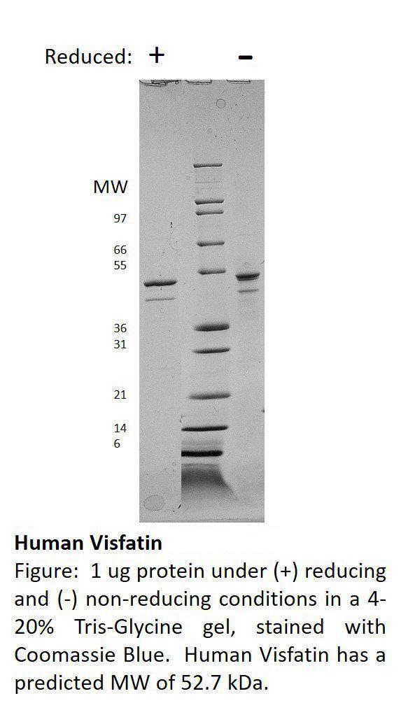 Human Visfatin
