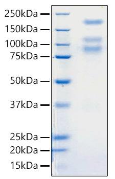 Recombinant Sars-Cov-2 (COVID-19/2019-nCov) S1+S2 ECD Protein