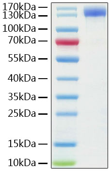 Recombinant Human ACE2 Protein with hFc tag