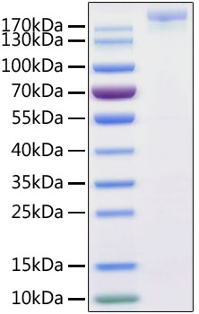 Recombinant SARS-CoV-2 S1+S2 ECD (S-ECD) Protein His tag