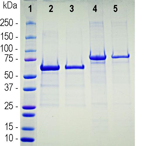 Recombinant ACE2 SARS-CoV2 Binding Domain