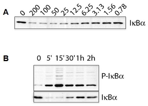 IL-1beta (human) (Recombinant) (untagged)