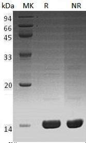 Recombinant Human Angiogenin/ANG/RNASE5