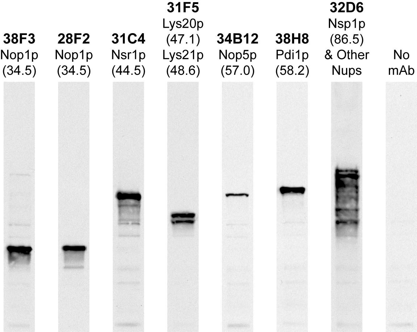 Monoclonal Antibody to Nop1p  (Clone: 28F2)