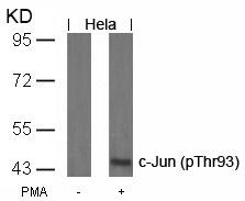 Polyclonal Antibody to c-Jun (Phospho-Thr93)