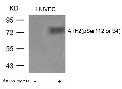 Polyclonal Antibody to ATF2 (Phospho-Ser112 or 94)