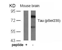 Polyclonal Antibody to Tau (Phospho-Ser235)