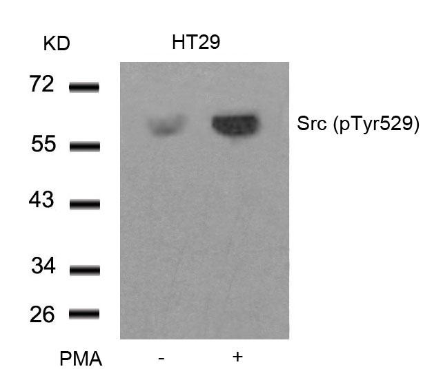 Polyclonal Antibody to Src (Phospho-Tyr529)