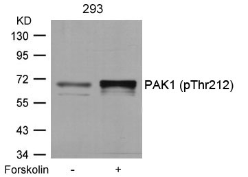 Polyclonal Antibody to PAK1 (Phospho-Thr212)