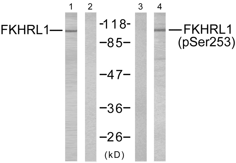 Polyclonal Antibody to FKHRL1(Phospho-Ser253)