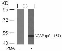 Polyclonal Antibody to VASP (Phospho-Ser157)
