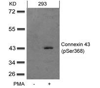Polyclonal Antibody to Connexin 43 (phospho-Ser367)