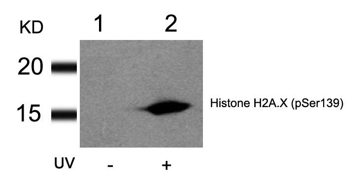 Polyclonal Antibody to Histone H2A.X (Phospho-Ser139)
