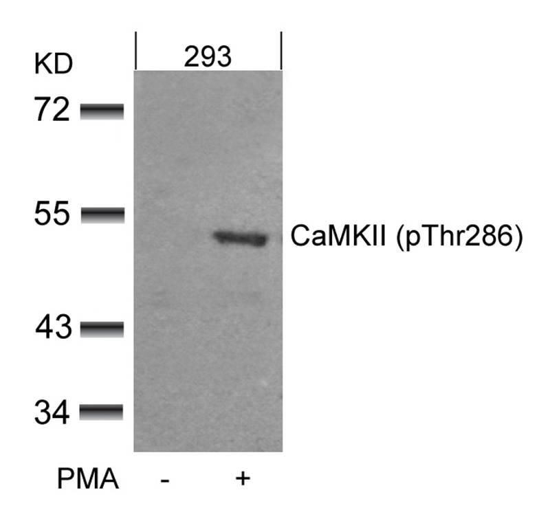 Polyclonal Antibody to CaMKII (Phospho-Thr286)
