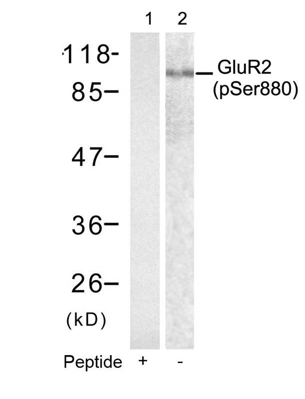 Polyclonal Antibody to GluR2 (phospho-Ser880)