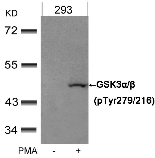 Polyclonal Antibody to GSK3 Alpha/beta(Phospho-Tyr279/216)