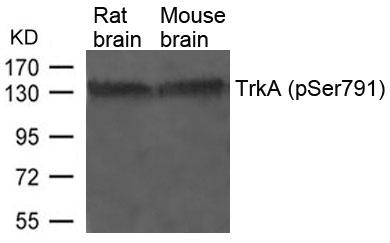 Polyclonal Antibody to TrkA (Phospho-Ser791)