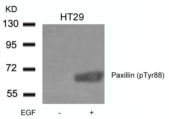 Polyclonal Antibody to Paxillin (phospho-Tyr88)