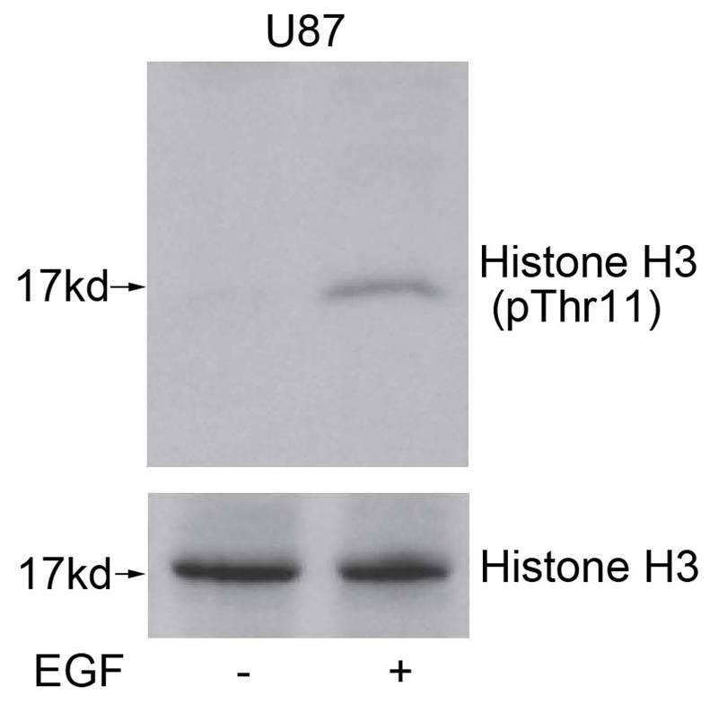 Polyclonal Antibody to Histone H3 (Phospho-Thr11)