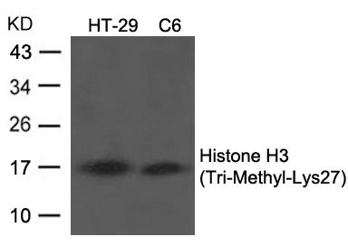 Polyclonal Antibody to Histone H3 (Tri-Methyl-Lys27)