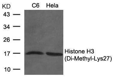 Polyclonal Antibody to Histone H3 (Di-Methyl-Lys27)