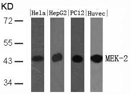 Polyclonal Antibody to MEK-2 (Ab-394)