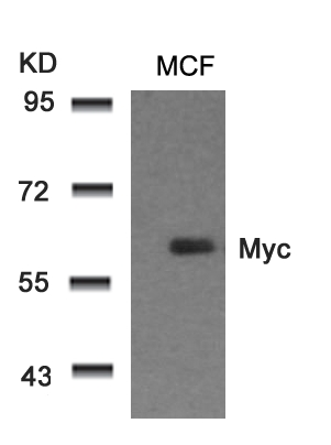 Polyclonal Antibody to Myc (Ab-58)