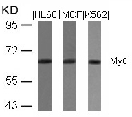 Polyclonal Antibody to Myc (Ab-358)