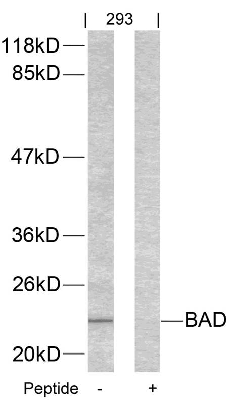 Polyclonal Antibody to BAD (Ab-155)