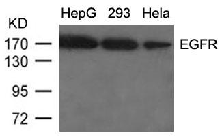 Polyclonal Antibody to EGFR (Ab-1092)