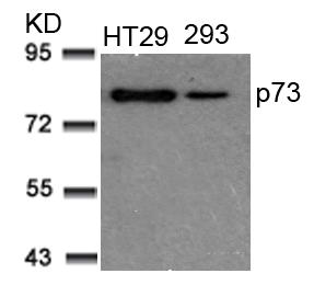 Polyclonal Antibody to p73 (Ab-99)