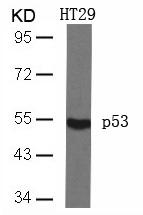 Polyclonal Antibody to p53 (Ab-46)