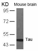 Polyclonal Antibody to Tau (Ab-231)