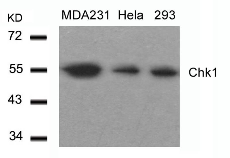 Polyclonal Antibody to Chk1 (Ab-317)