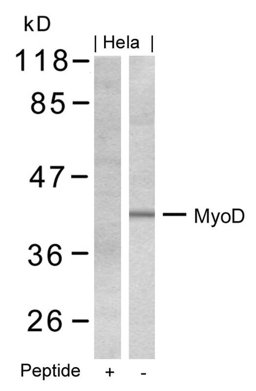 Polyclonal Antibody to MyoD (Ab-200)