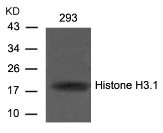 Polyclonal Antibody to Histone H3.1 (Ab-10)