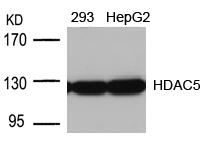 Polyclonal Antibody to HDAC5 (Ab-498)