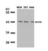 Polyclonal Antibody to MKK6 (Ab-207)