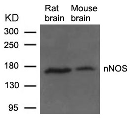 Polyclonal Antibody to nNOS (Ab-852)