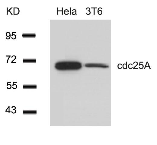 Polyclonal Antibody to cdc25A (Ab-76)