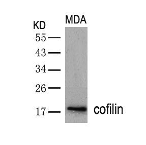 Polyclonal Antibody to cofilin (Ab-3)