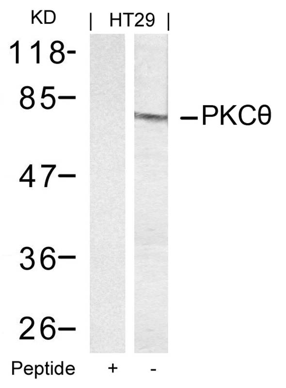 Polyclonal Antibody to PKC Theta (Ab-695)