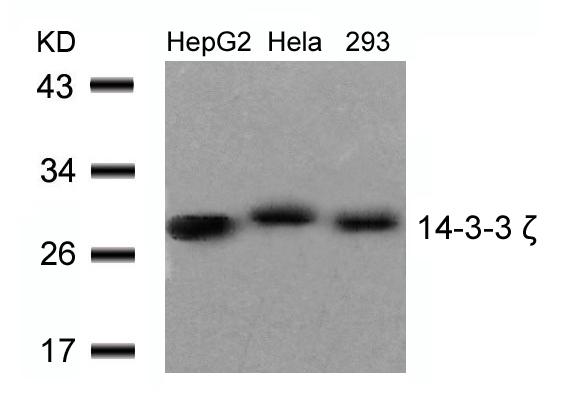 Polyclonal Antibody to 14-3-3 zeta (Ab-58)