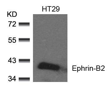 Polyclonal Antibody to Ephrin-B2 (Ab-330)