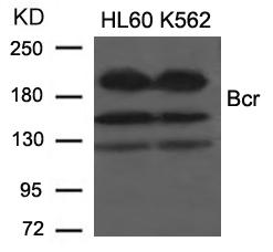 Polyclonal Antibody to Bcr (Ab-177)