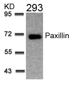 Polyclonal Antibody to Paxillin (Ab-31)