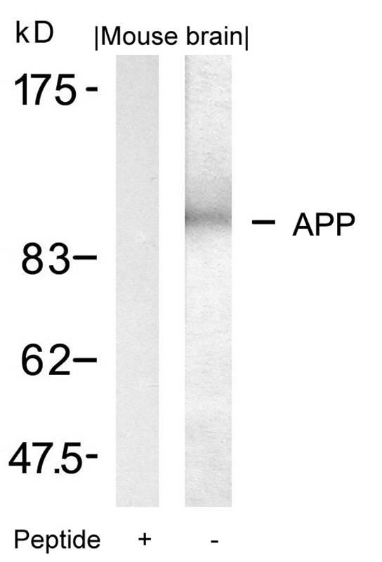 Polyclonal Antibody to APP (Ab-668)